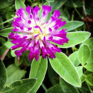 red_clover_450